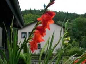 gladiolenaug2008