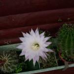kaktus02sommer09