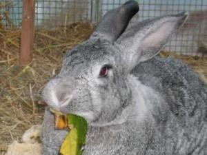 kaninchenwilly