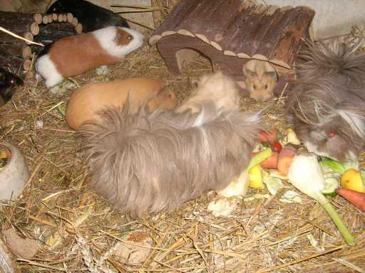 tierschutzwelt und little animals blog archive junge weibliche und m nnliche meerschweinchen. Black Bedroom Furniture Sets. Home Design Ideas