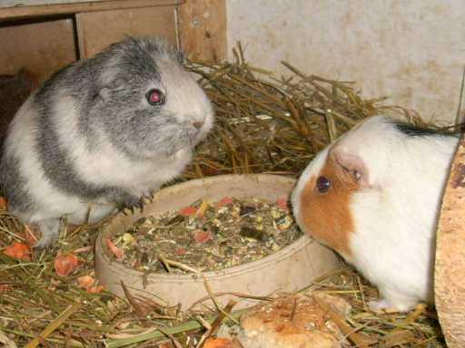 maisblätter für meerschweinchen