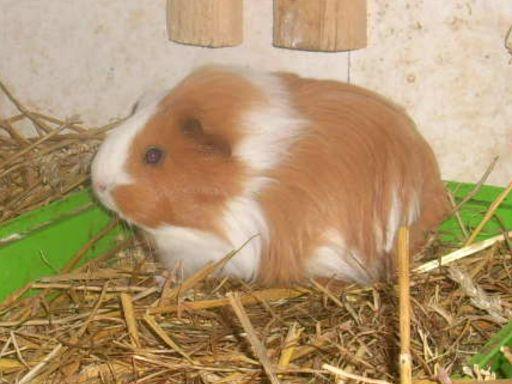 tierschutzwelt und little animals blog archive junge meerschweinchen in der nager kleintier. Black Bedroom Furniture Sets. Home Design Ideas